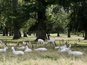 Houghton Hall White Deer