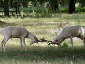 Houghton Hall White Deer