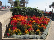 """Coleuses in bloom at the flower bed opposite the """"Ocean Bowl & Grill""""."""