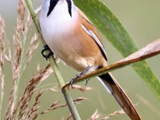 Bearded reedling at Strumpshaw