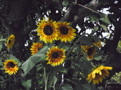 End of summer sunflowers.