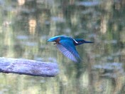 Kingfishers in Waveney/Suffolk