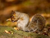 Squirrel impersonating superman