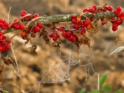 Dew on cobwebs and berries at end of Summer.