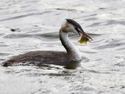 Lunchtime - Great Crested Grebe fishing