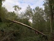The fallen tree Playford