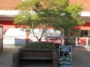 Magnolia Square's Magnolia tree