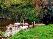 Swans at St Georges