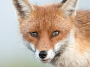 The beautiful eyes of a Fox.