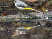 Wagtail and reflection