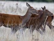 Red Deer at RSPB Minsmere