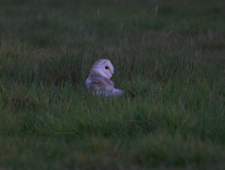 Barn Owl Time Out