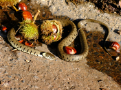 Grass Snake collecting the Harvest