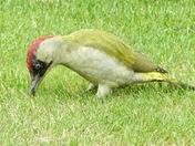 This beautiful green Woodpecker