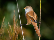 Bearded reedling doing the splits
