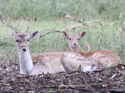 The cycle of life: wild fallow deer at Holkham Park today
