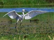 Egret on show
