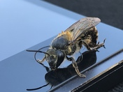 Inquisitive bee