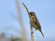 Reed bunting (female) on maize