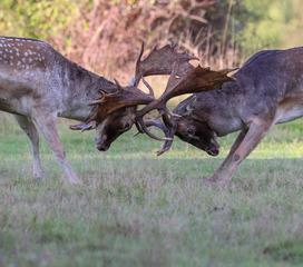 Fallow bucks rutting