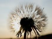 Dandelion seed head.(Weekly challenge)