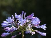 Late Flowering