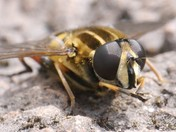 Hoverfly washing itself