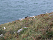 Goats at Ormes Head Wales.