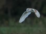 Barn Owl at Dawn.