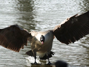 Angry Goose - Photo Challenge