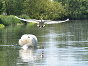 SWANS on River Stour