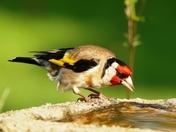 Goldfinch at the bird bath taking a drink.(challenge)