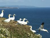 Photo comp birds - Gannets at Bempton Cliffs