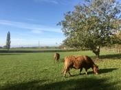 Cows enjoying the Autumn sunshine