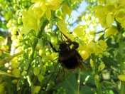 Beautiful bumblebee.