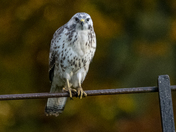 Pale phased buzzard