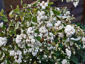 Snowberry bush