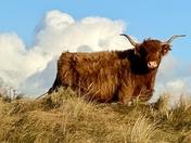 Highland cattle near Sizewell Beach