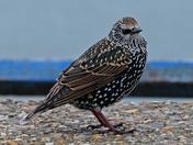 Landguard Starling