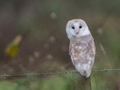 Barn Owl in the rain.