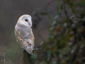 Barn Owl on a post.