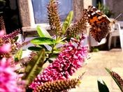 Butterfly in mid-flight