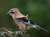 A Jay visits the garden.