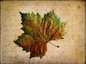 Pressed Leaf.