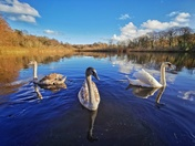 Mute Swans at Selbrigg Pond, near Holt