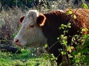 Cattle in Woodbridge