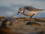 Sanderlings at winterton