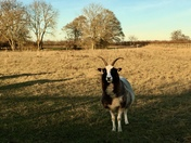 Horned sheep in Hasketon