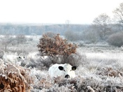 Furry cows on the frosty common