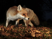 Fox hunting in the fallen leaves.